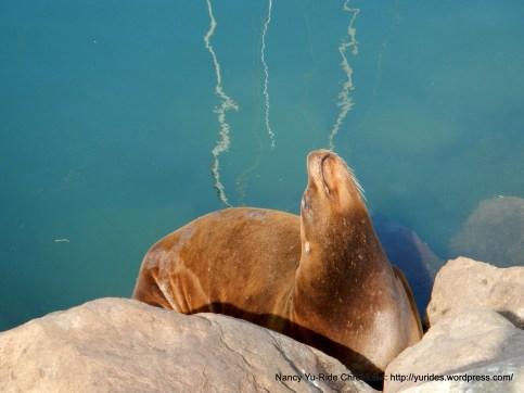 sunbathing harbor seal