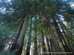 cathedral top redwoods