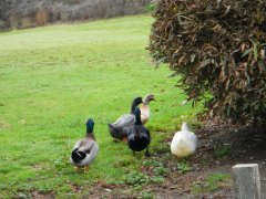 Cheese Factory ducks