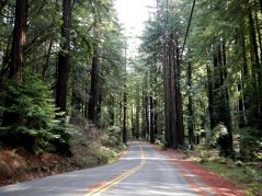redwoods-Lucas Valley