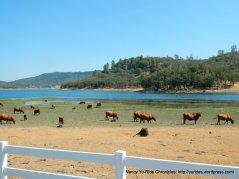 detert reservoir cattle