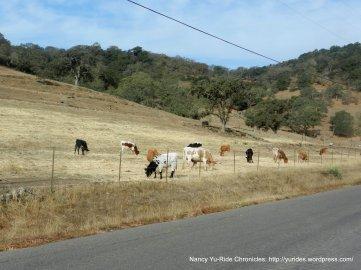 grazing longhorns