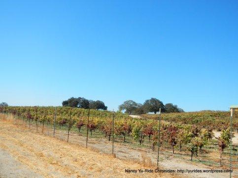 CA-41 S vineyards