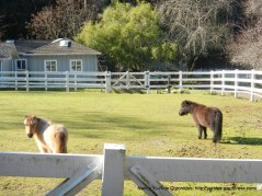 palomares miniature horses