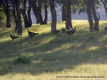 female turkeys