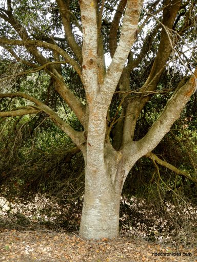 oaks/bays