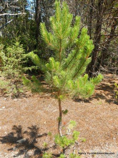 stunted redwood