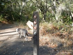 ringtail cat trail