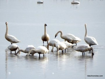 swans & geese