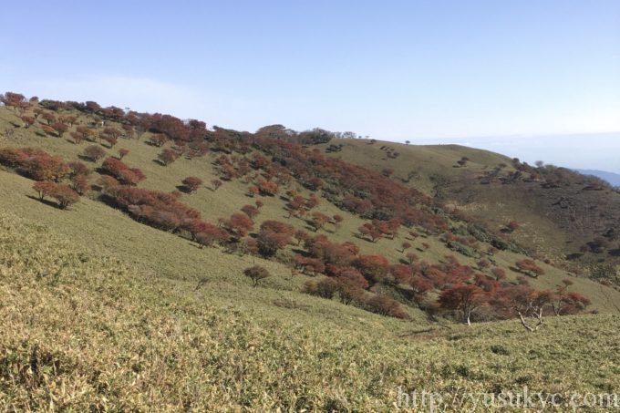 竜ヶ岳の紅葉のシロヤシオ
