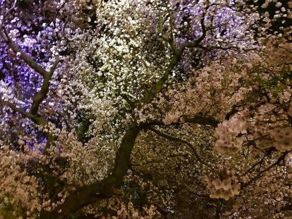 夜桜と超豪華寝台列車『四季島』