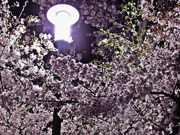 足立区の夜桜と街灯6