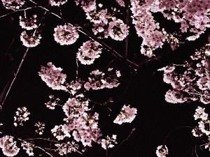 足立区の夜桜3