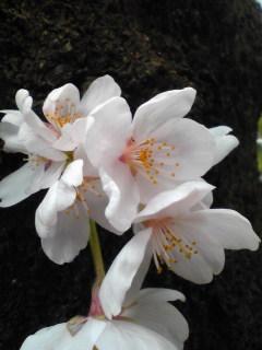 まんさくは満開の桜