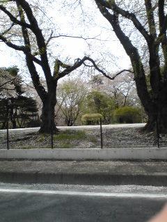 稲荷山公園の桜散る
