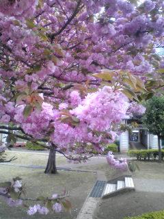 八重桜ずっしり