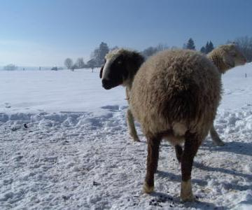 Wir besuchen die Schafe im Schnee