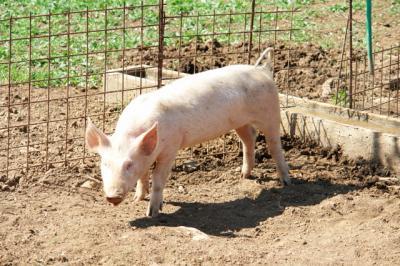 Da sind ja noch mehr Schweinchen!