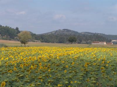 Sonnenblumen, soweit das Auge reicht