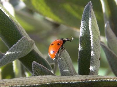 Kuckuck kleiner Marienkäfer