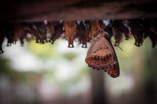 Many butterflies are still developing inside their pupae.