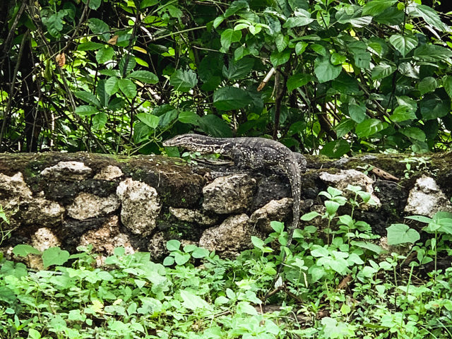 The small Lizard is about 1,6 Meters long