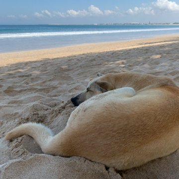 Luna likes to sleep on the beach