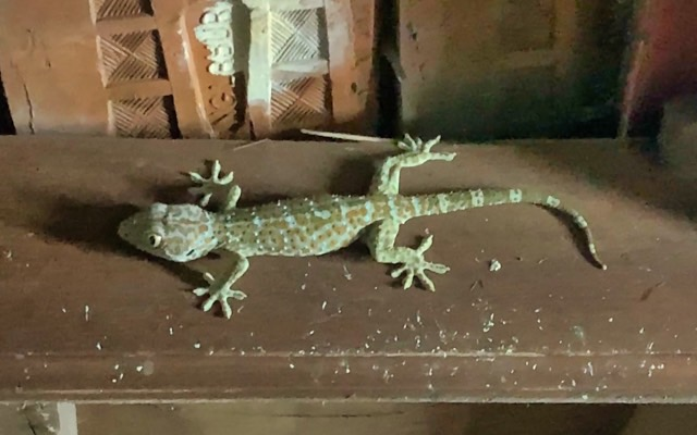 The biggest member of our gecko-family pays us a visit