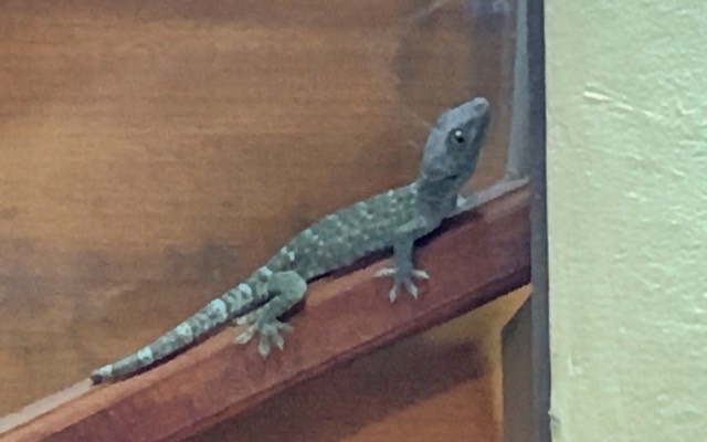 """The """"Master"""", our biggest tokay gecko, isn't shy at all"""