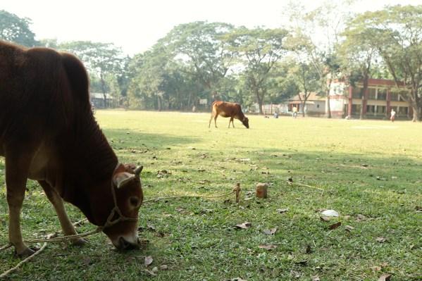 Kalsindur Spielfeld mit Kuh