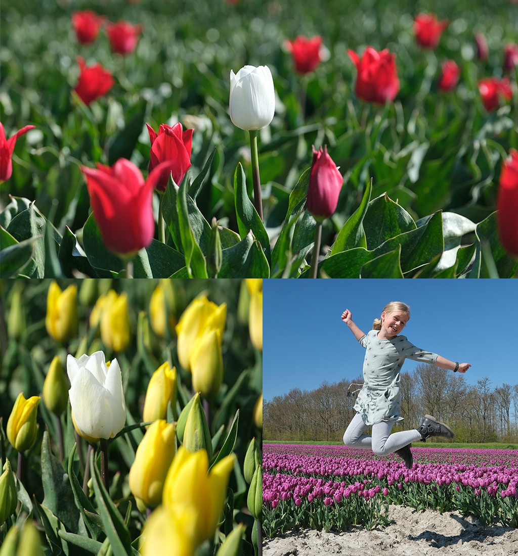 wandelen tussen tulpenvelden
