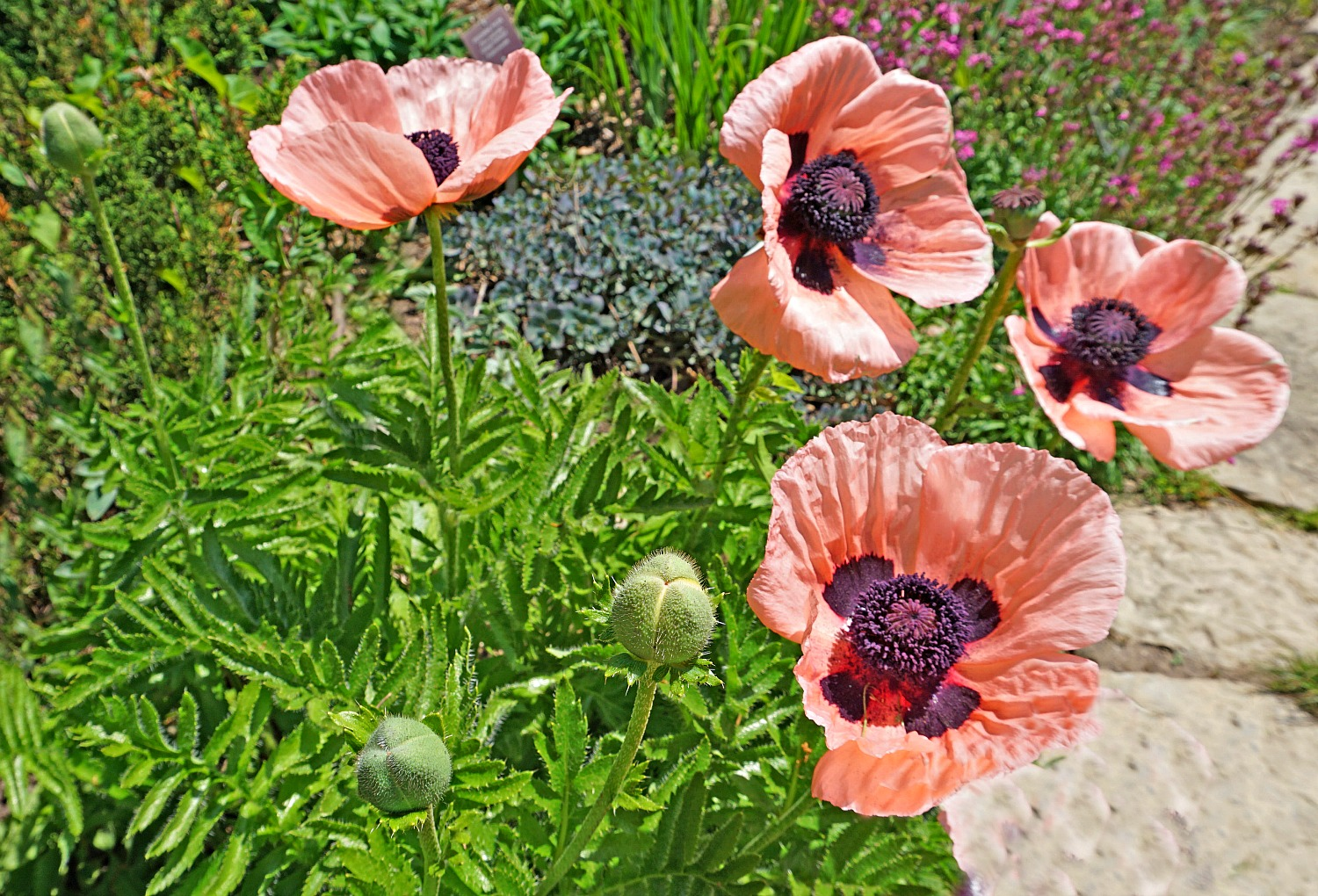 Pink poppies in Niagara Botanical Gardens.