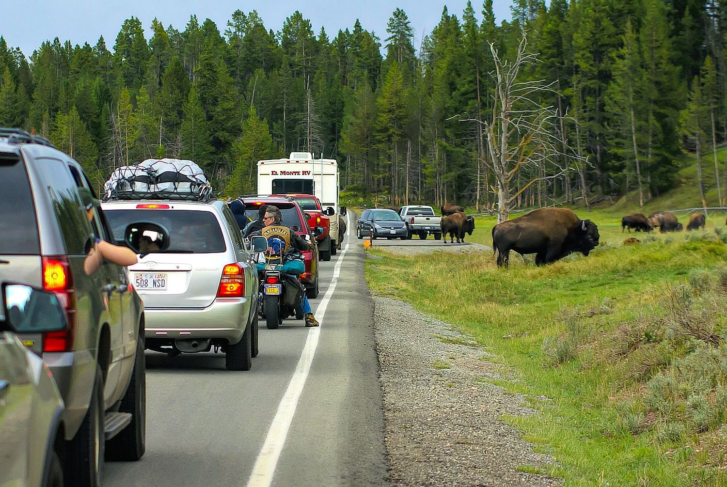 Bison on the road at Yellowstone National Park.
