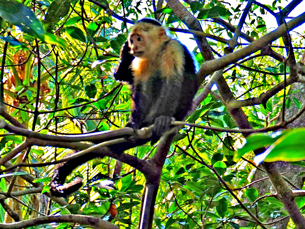 Mangrove tour in Manuel Antonio Costa Rica. White face monkey.