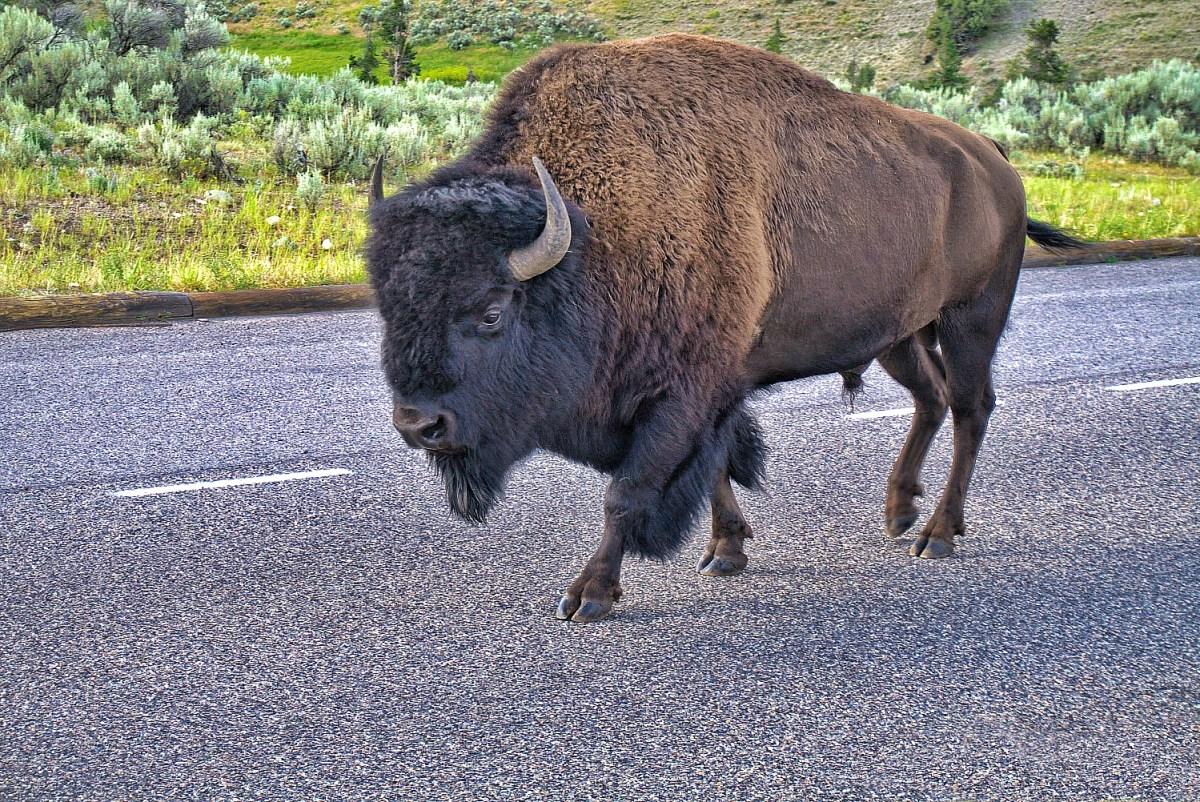 Buffalo crossing the road in Yellowstone, Wyoming.