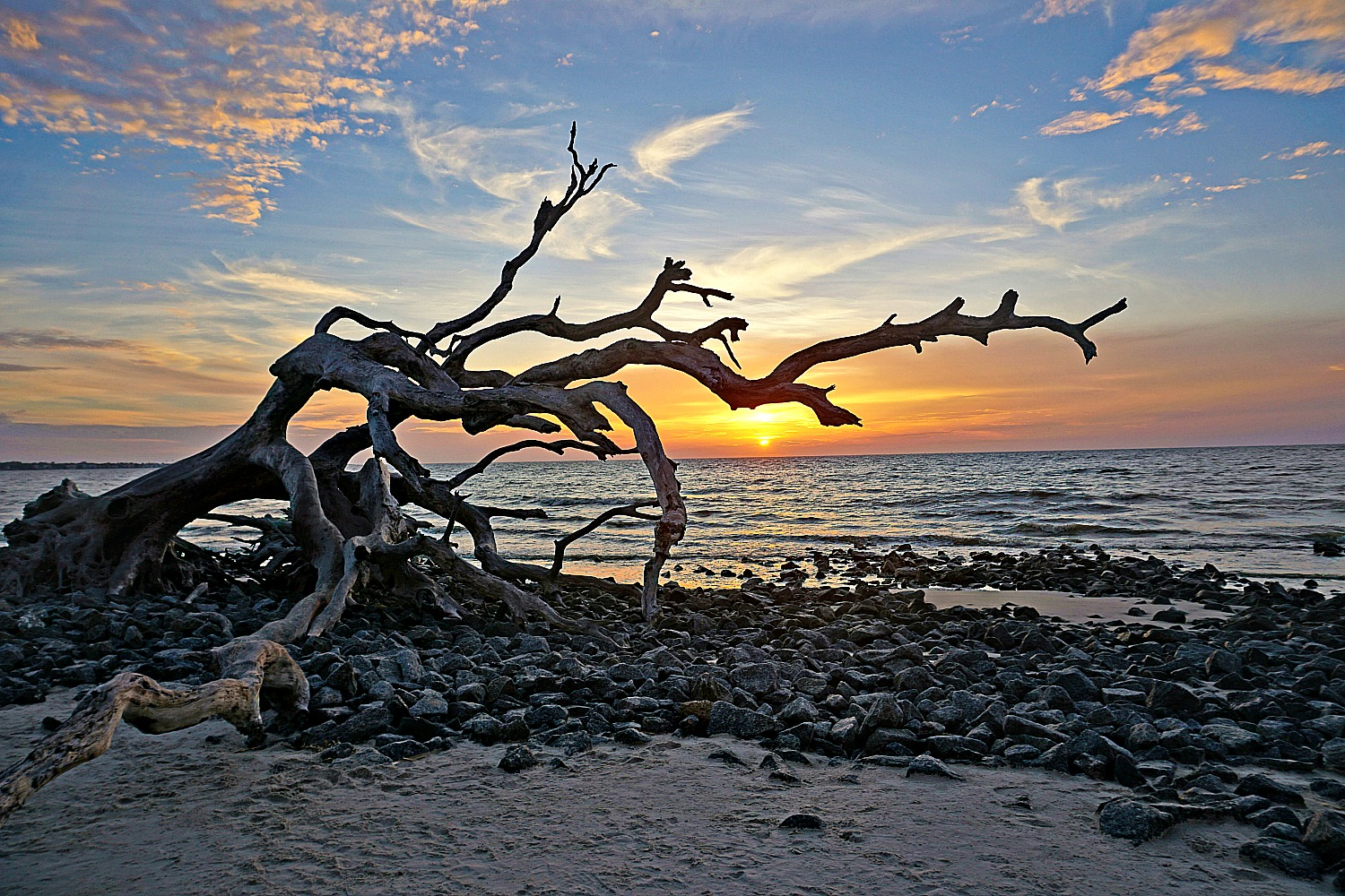 Driftwood beaches of the East Coast. Jekyll Island. Bent tree at sunrise.
