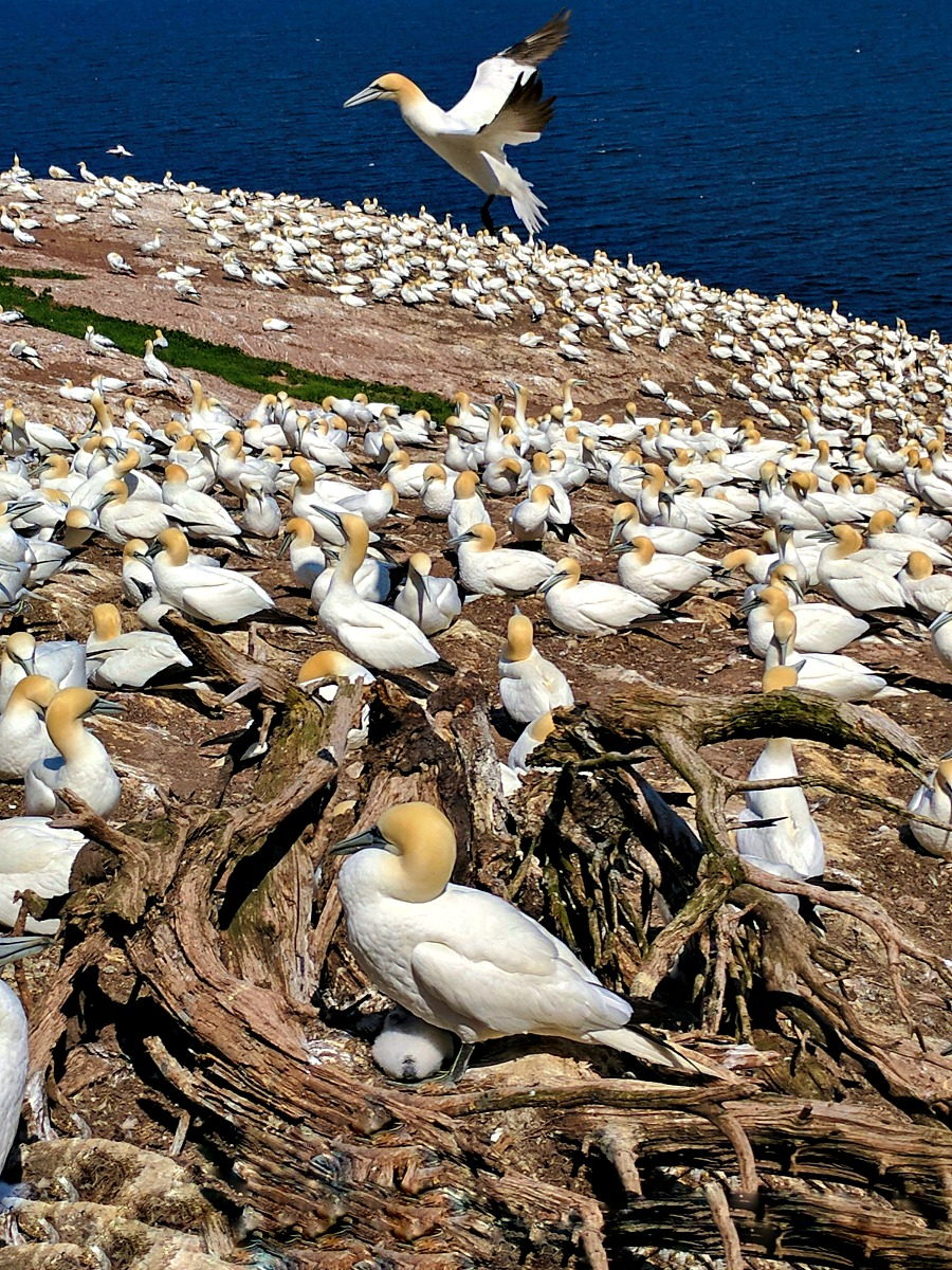 A road trip to the province of Quebec. Gannet colony.