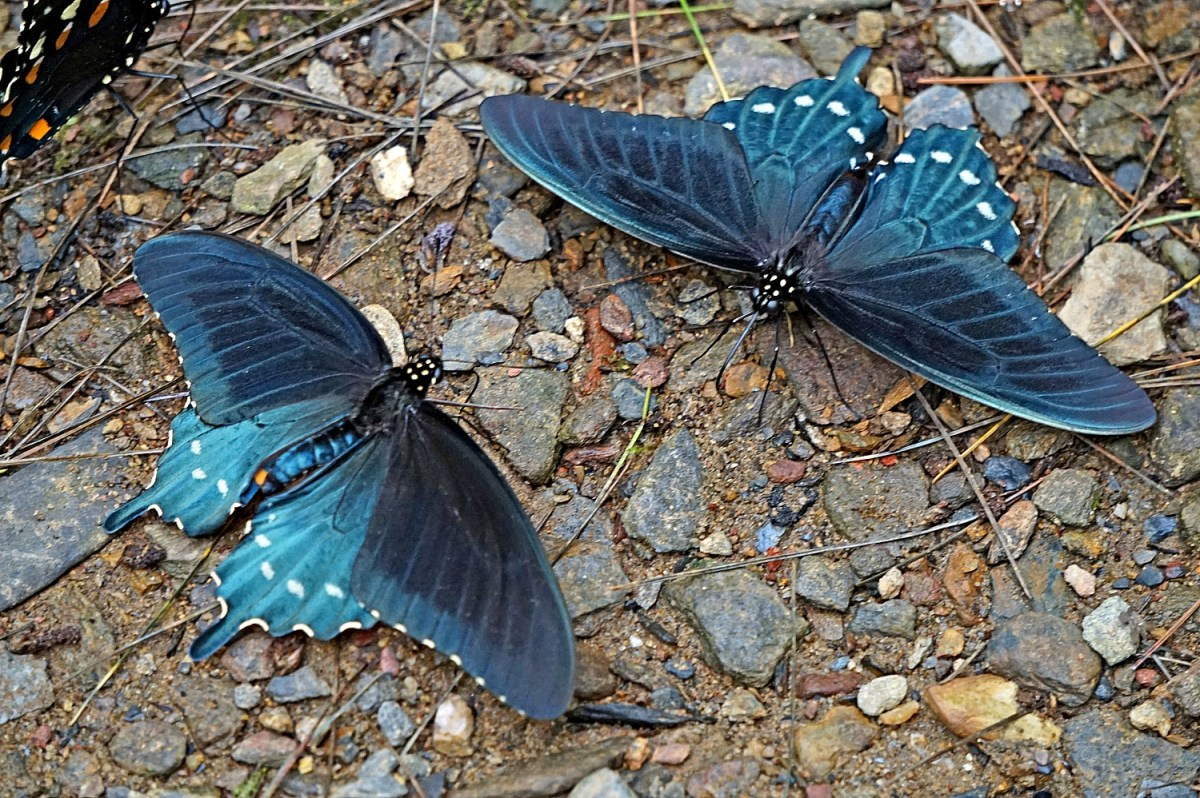 Butterflies. Great Smoky Mountains National Park. Spring.