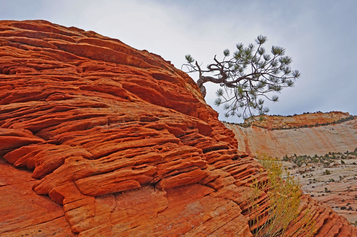 The lonely tree still hanging to its live in Zion National Park.