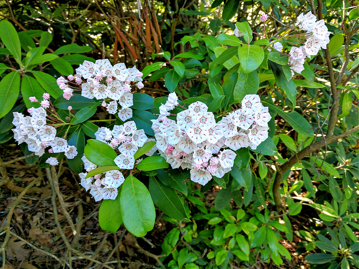 Hiking Mount Minsi is especially rewarding when the rhododendrons are in full bloom.