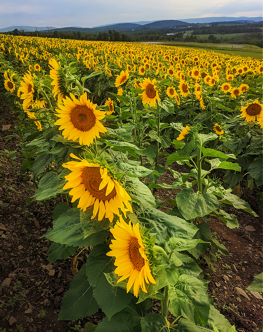 Brown Hill Farms sunflowers show off their beauty on the slope.