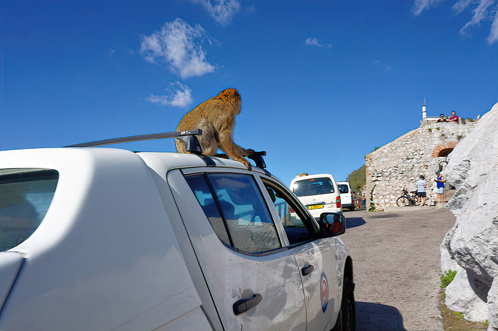 Monkey of Gibraltar on a car.