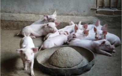 Pig Raising Households Face Severe Losses