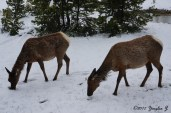 Yellowstone Deer 1