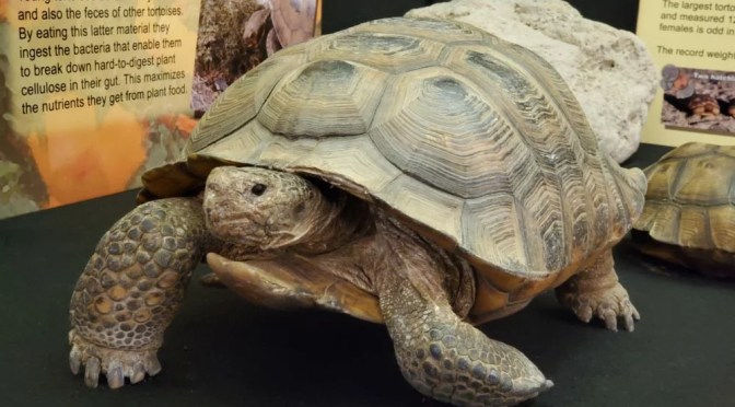DO YOU REMEMBER MOSES THE DESERT TORTOISE?