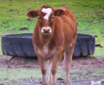 Second cow was born exactly on the first day of the Hebrew shemitah year.