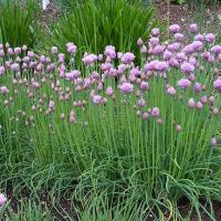 Allium ,trendy voor in de border.