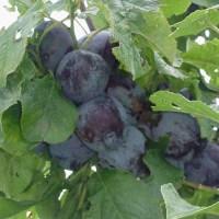 De eetbare tuin - Appels,Kersen,Peren en Pruimen - Deel 1
