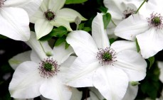 c. florida 'Pistachio'