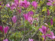 Magnolia in tuin Poelenburg.